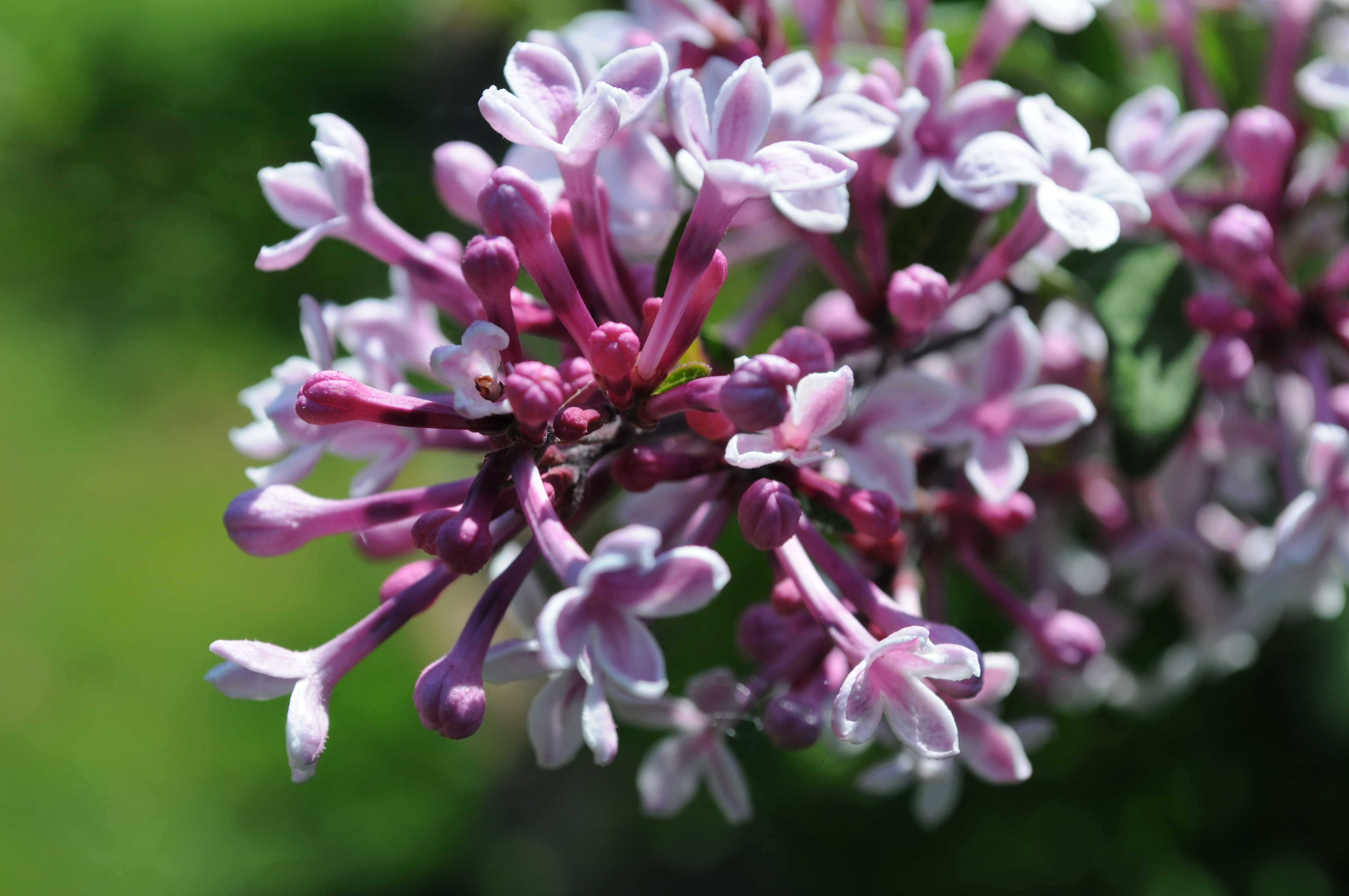 file syringa microphylla 39 superba 39 flowers closeup at hulda klager lilac wikimedia. Black Bedroom Furniture Sets. Home Design Ideas