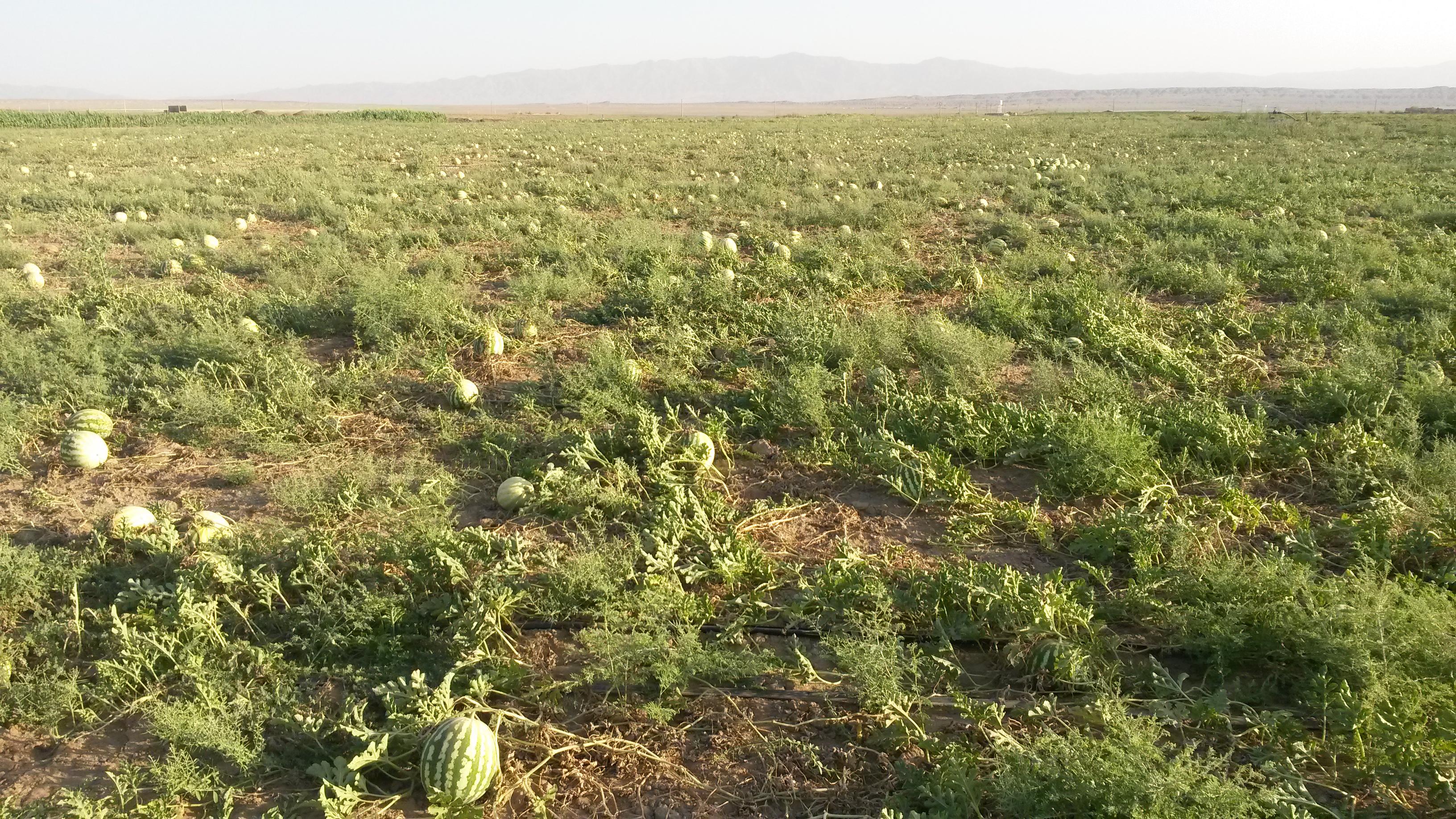 Melón vodový (Citrullus vulgaris) na poli