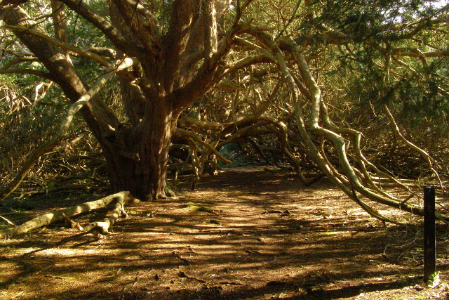 Ancient yews form arch over nature trail