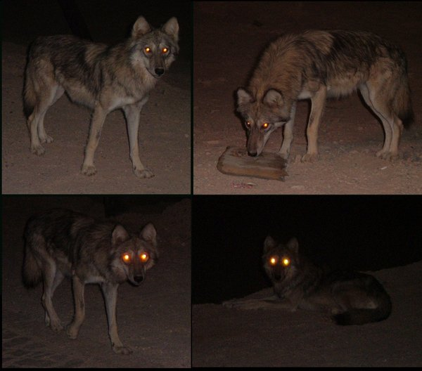 http://upload.wikimedia.org/wikipedia/commons/1/14/A_desert_wolf_by_Snoosmumrik.jpg