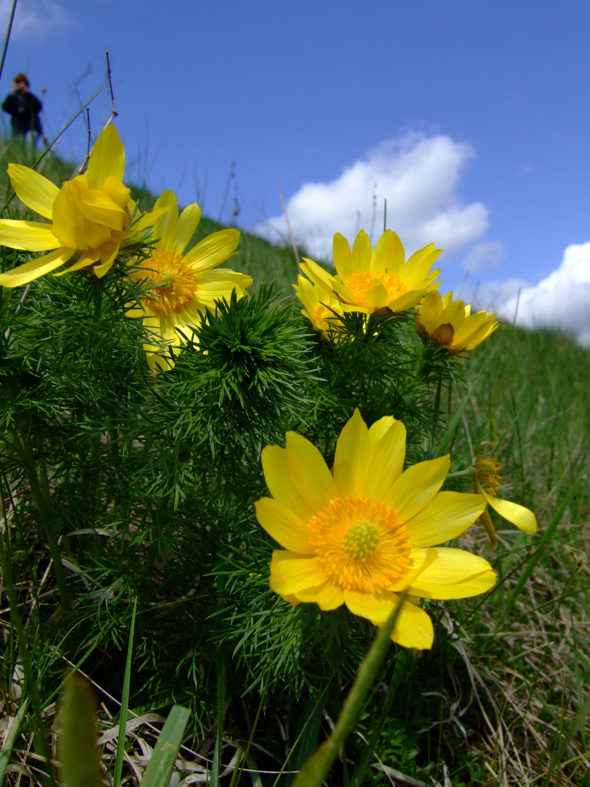 Adonis vernalis, Ponidzie, spring