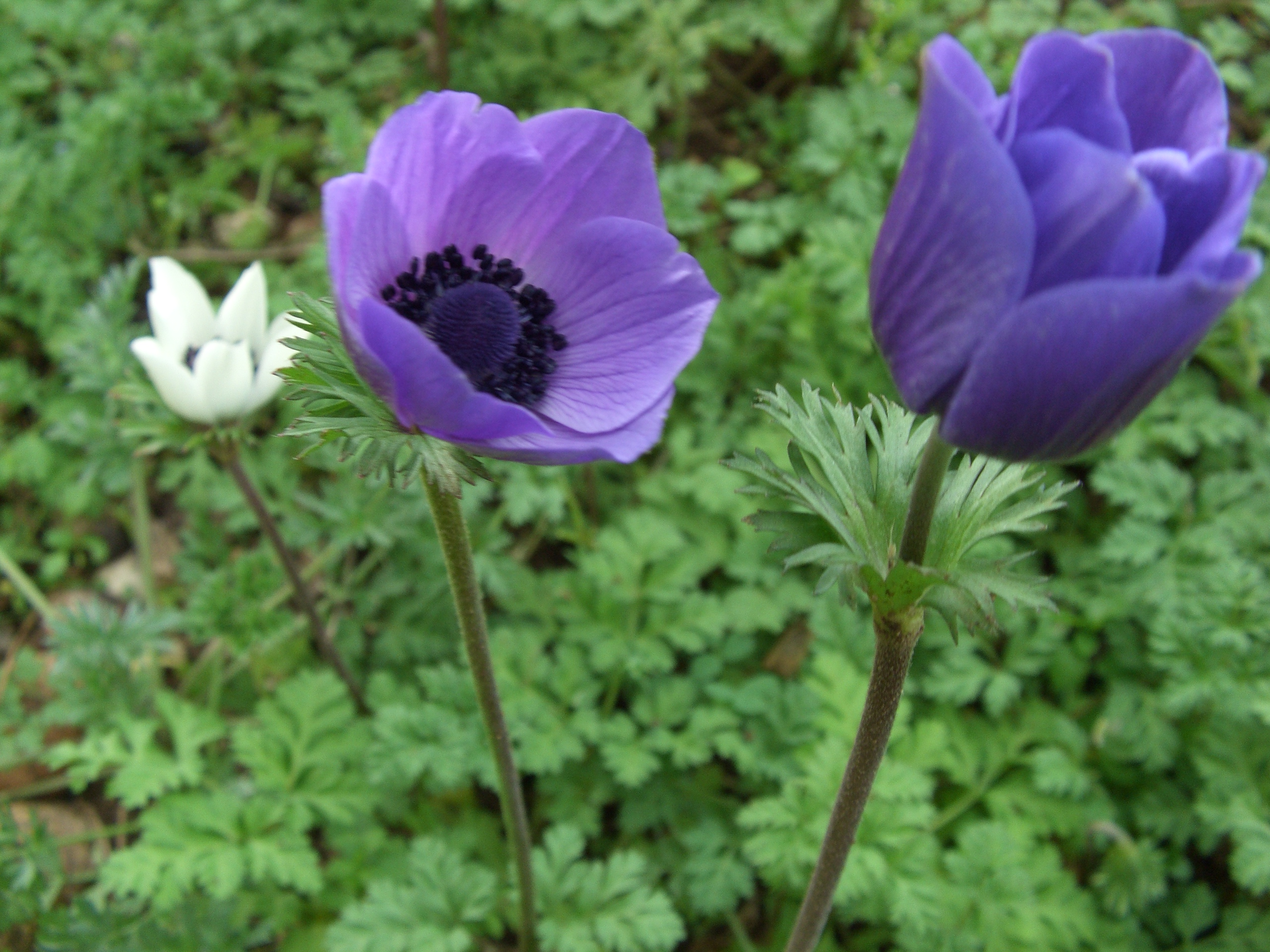 file anemone coronaria l 1 jpg wikipedia. Black Bedroom Furniture Sets. Home Design Ideas
