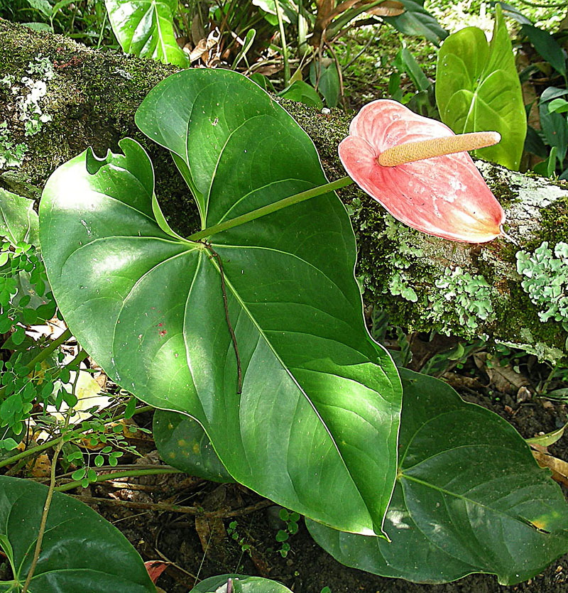 Fileanthurium andraeanum the pink flamingo flower 9155180269g fileanthurium andraeanum the pink flamingo flower 9155180269g mightylinksfo Images