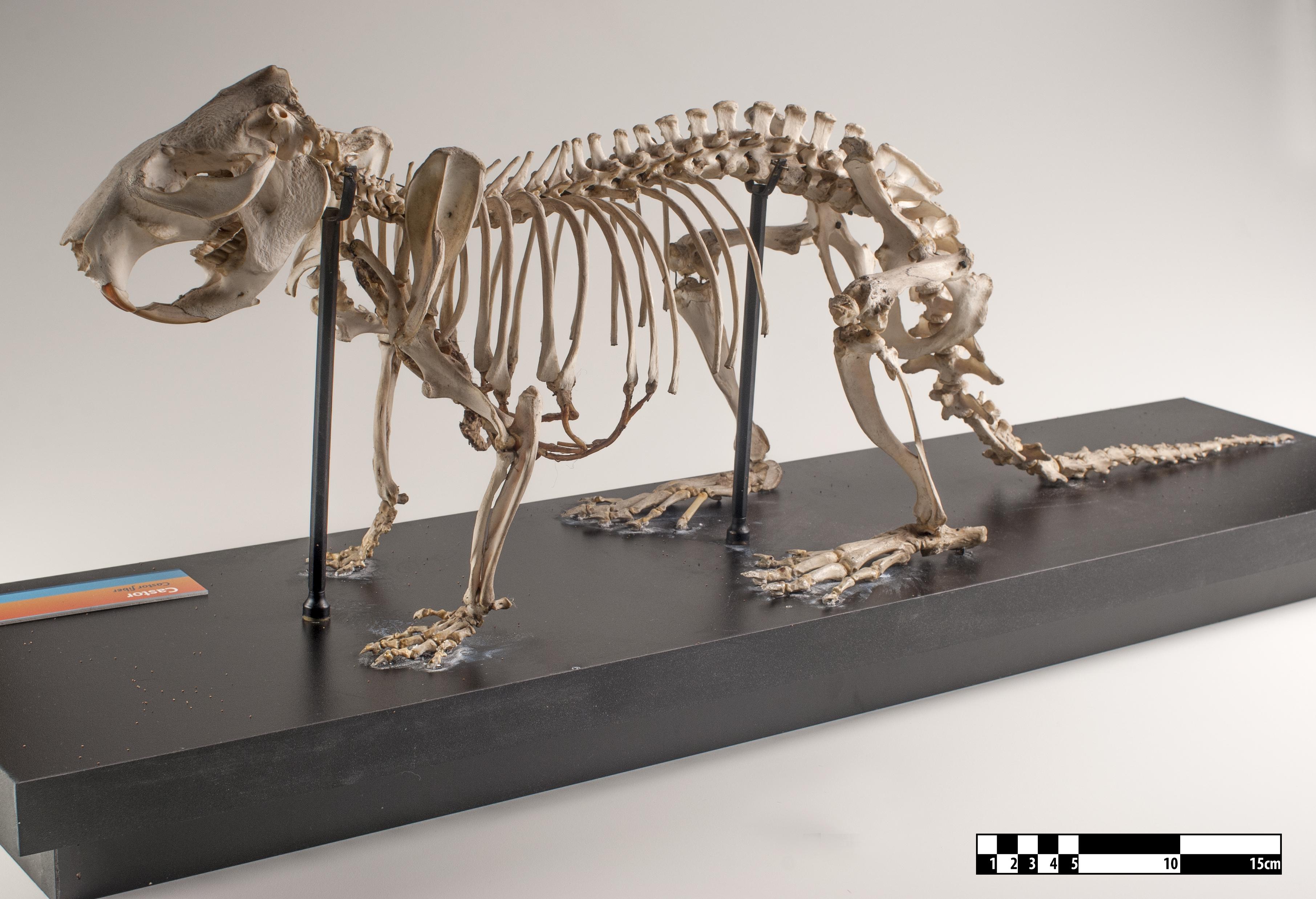 File:Beaver skeleton at MAV-USP jpg - Wikimedia Commons