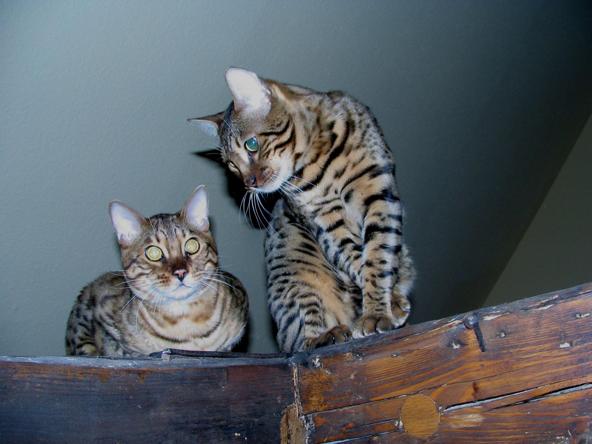 ברצינות חתול בנגלי – ויקיפדיה AA-09