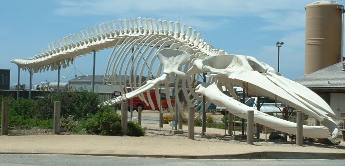 A model of a skeleton of a blue whale, the largest animal on earth.
