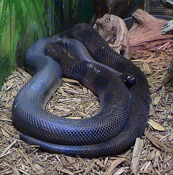Bothrochilus boa.jpg