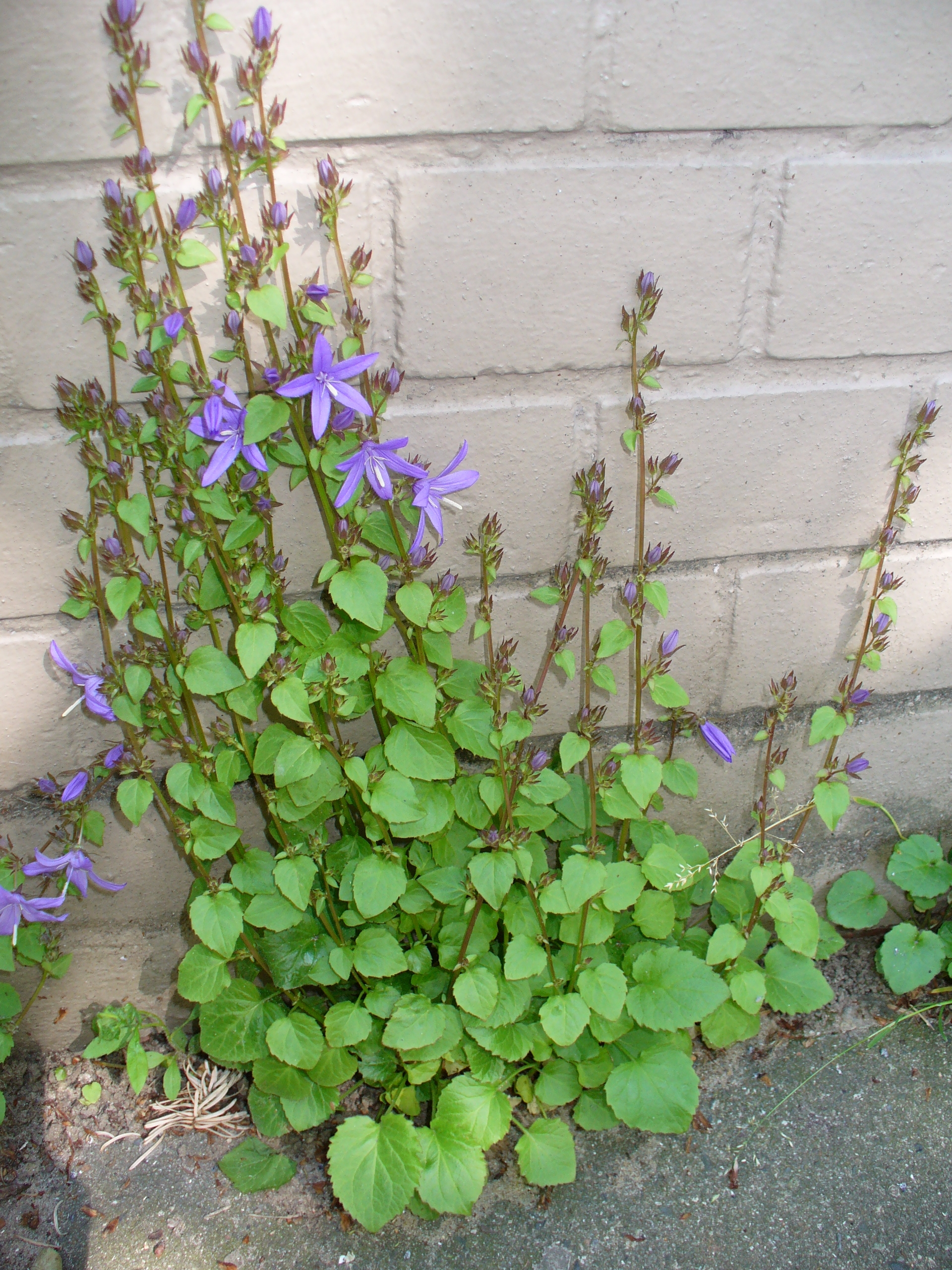 http://upload.wikimedia.org/wikipedia/commons/1/14/Campanula_poscharskyana_1.JPG
