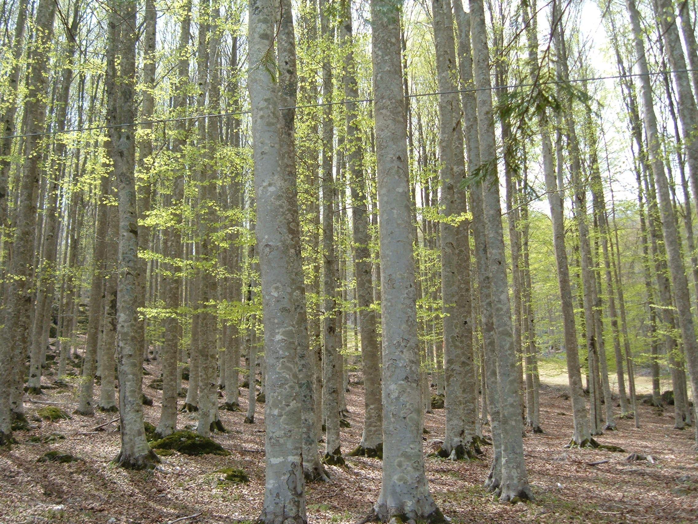 Foresta di faggio, Prato della Contessa