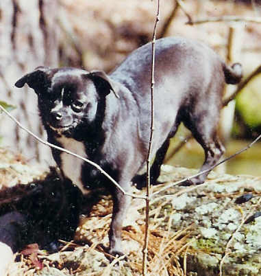 Black Chihuahua dog