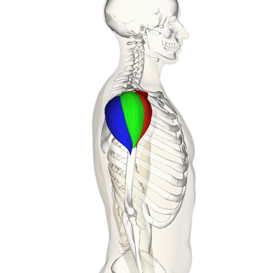 Filedeltoid Muscle Lateral3g Wikimedia Commons