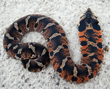 File:Eastern Hognose Snake.jpg