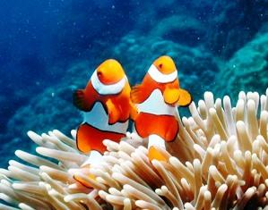 File:False Clown Anemonefish Great Barrier Reef Australia ...