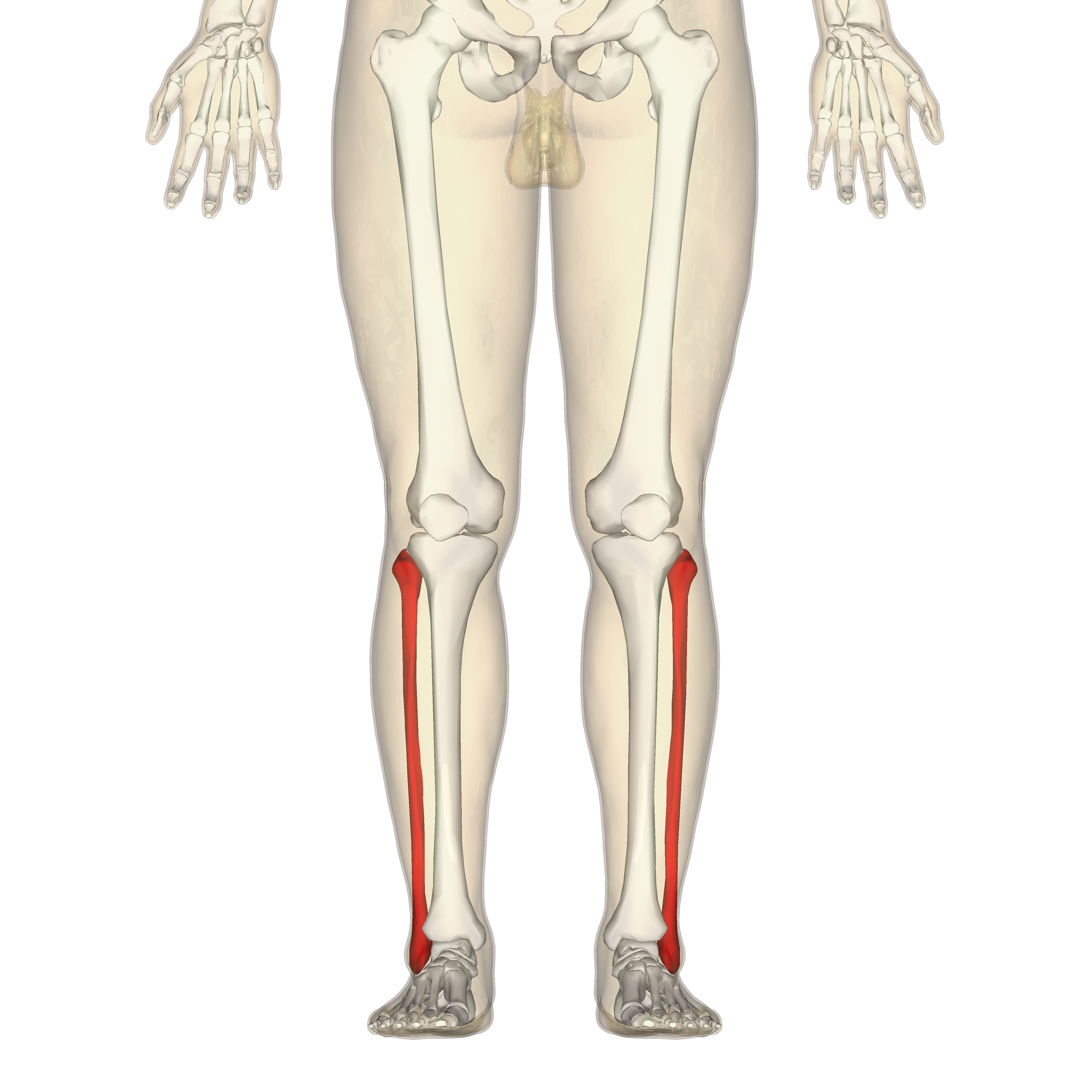 Human Femur Position of fibula in human