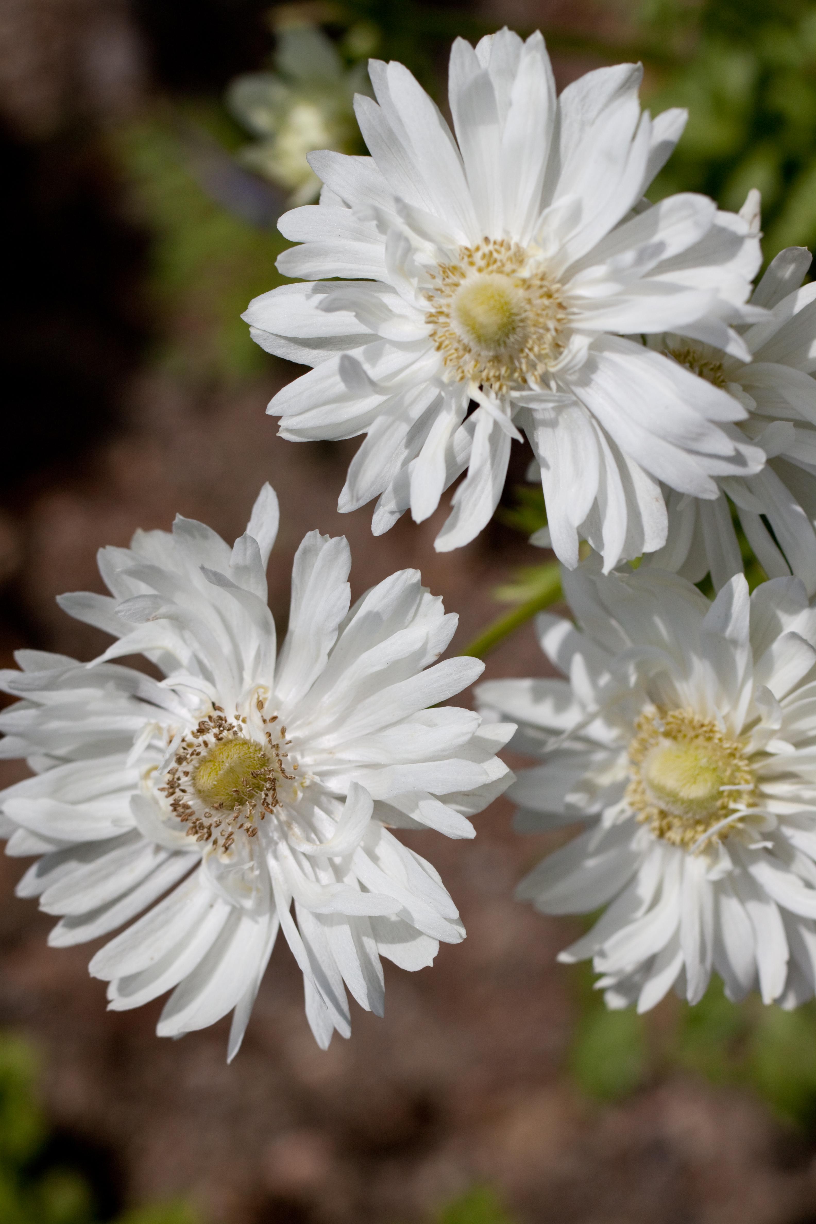File Flower Anemone Flickr nekonomania 4 Wikimedia mons