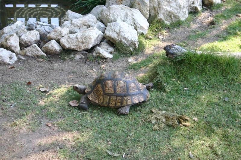 File:Geochelone pardalis -Frank Buck Zoo, Gainesville, Texas