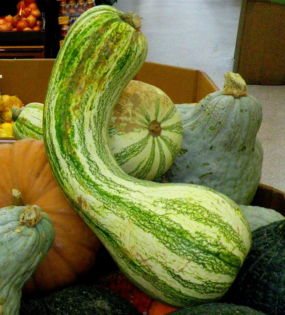 Image result for cushaw squash