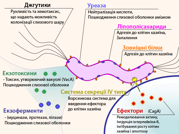 Файл:H pylori virulence factors uk.png