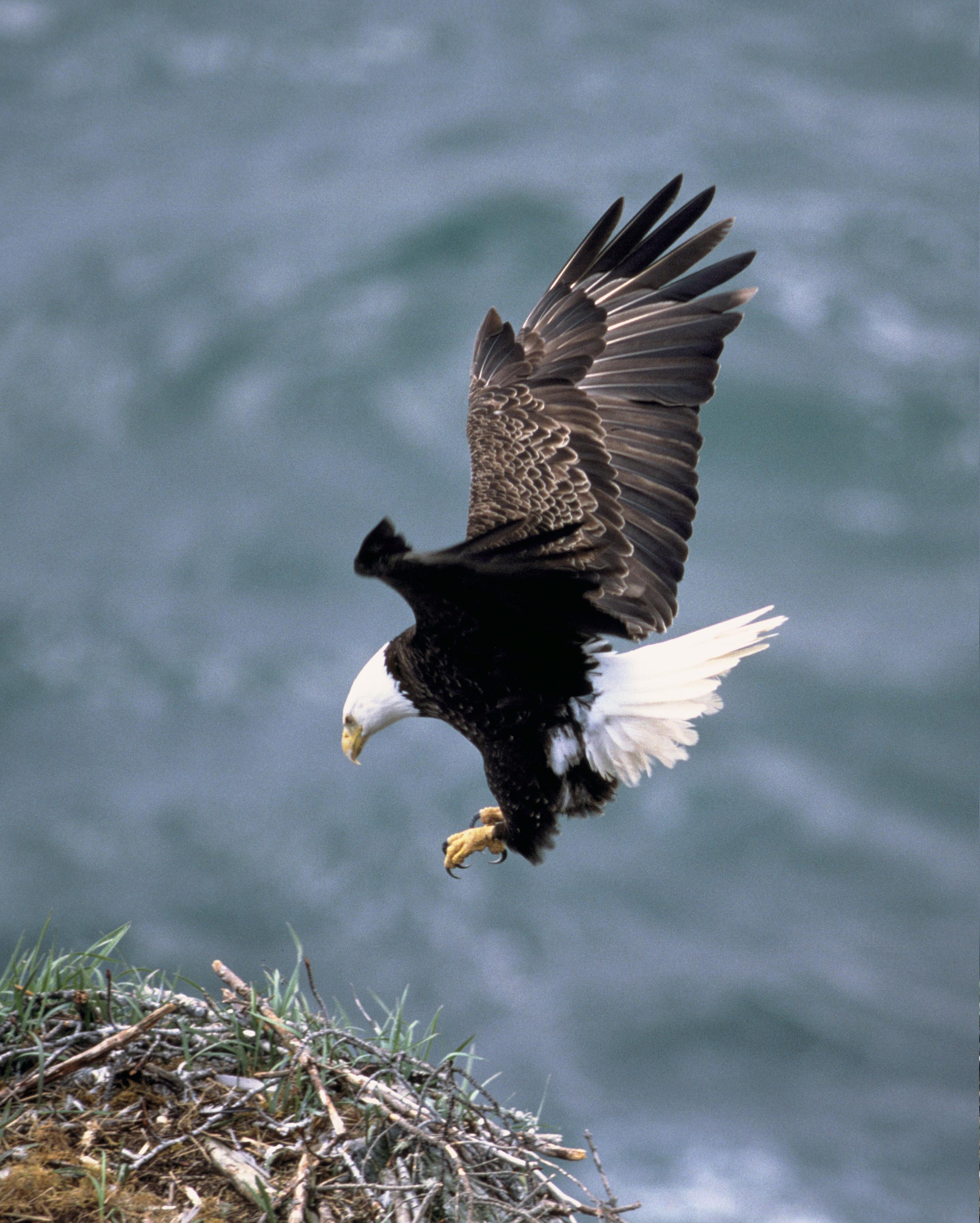 Der Weißkopfseeadler ist der Wappenvogel der Vereinigten Staaten.