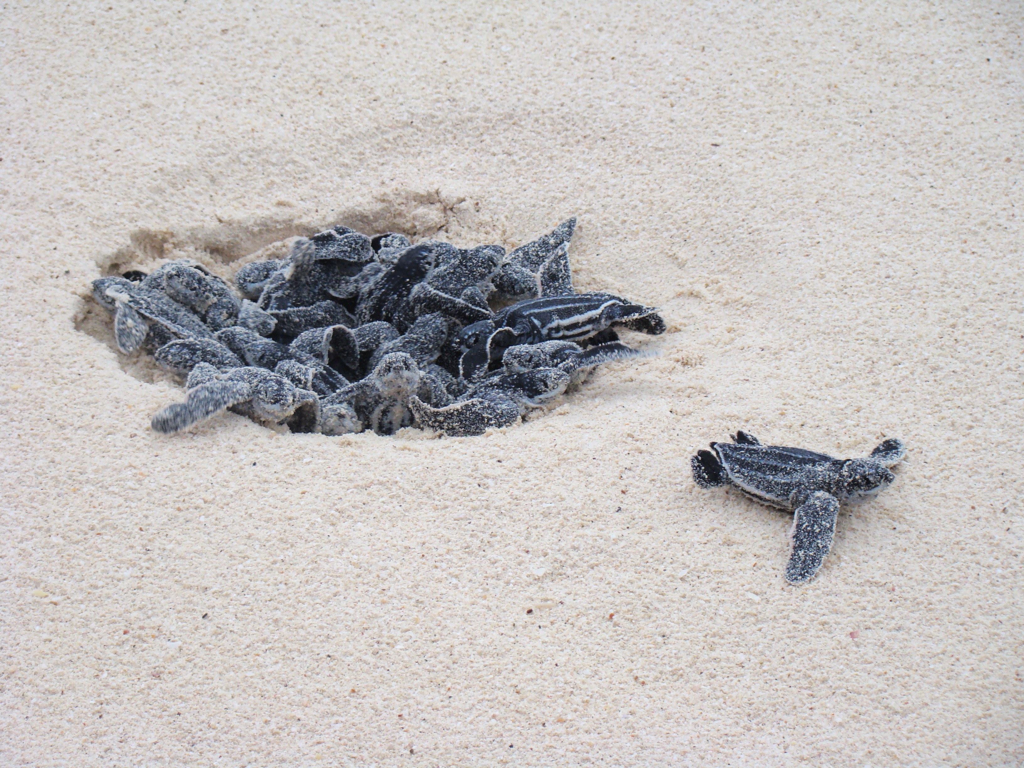 fileleatherback turtle eggs hatching at eagle beach