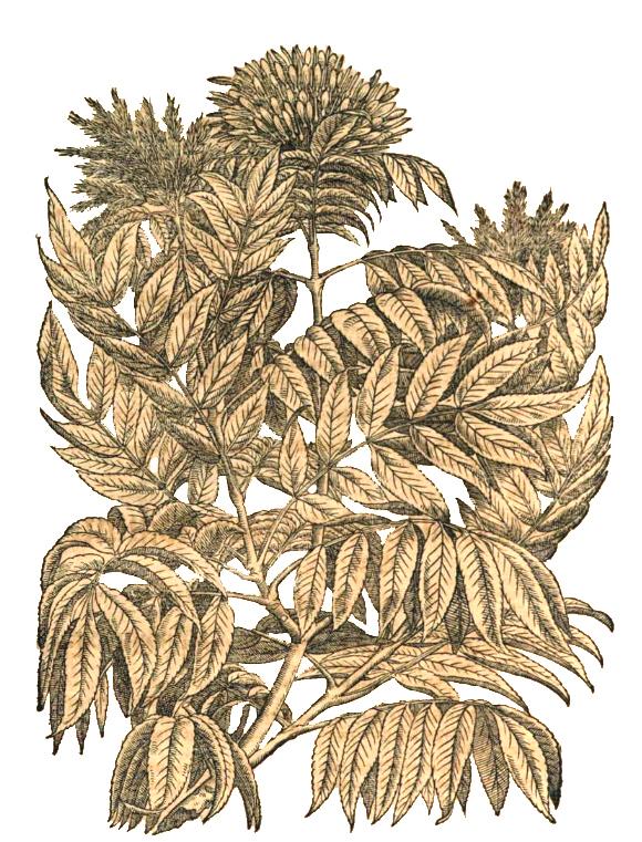 Mattioli ab 1562.jpg