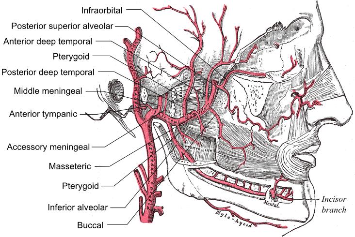Maxillary artery - Wikipedia