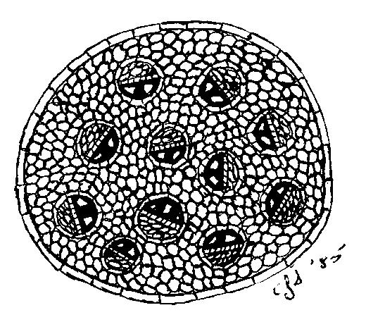 Typ stonky byliny s roztrúseným usporiadaním cievnych zväzkov