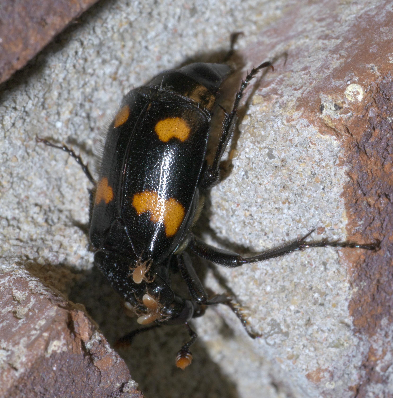 File:Nicrophorus orbicollis P1650522a jpg - Wikimedia Commons