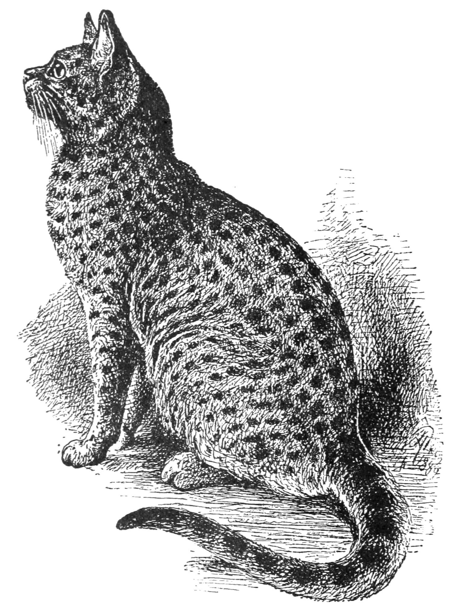 PSM V37 D110 Finely marked spotted tabby cat.jpg