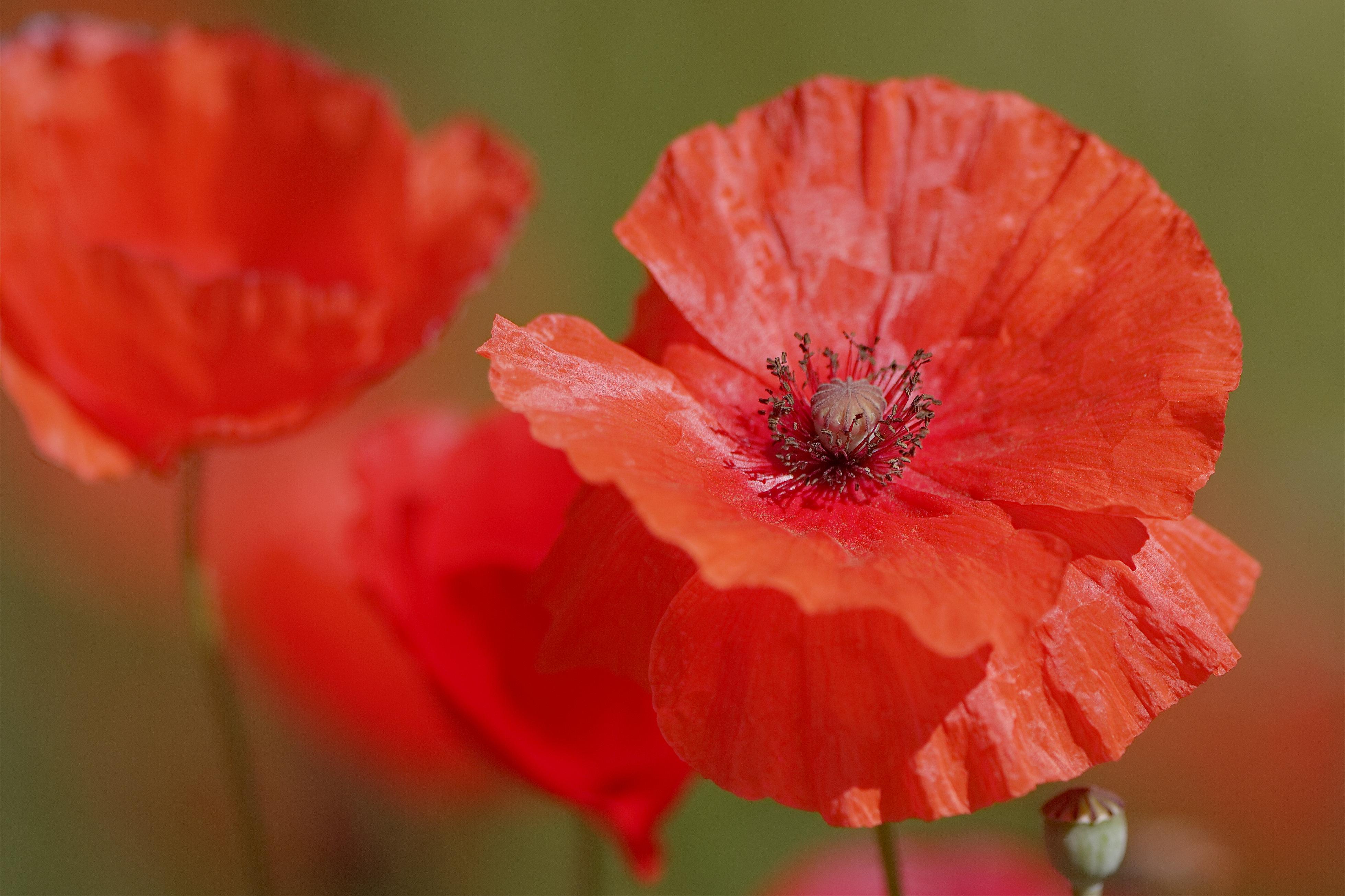 Red Poppy Flower Diy Craft