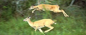 Columbian white-tailed deer subspecies of mammal