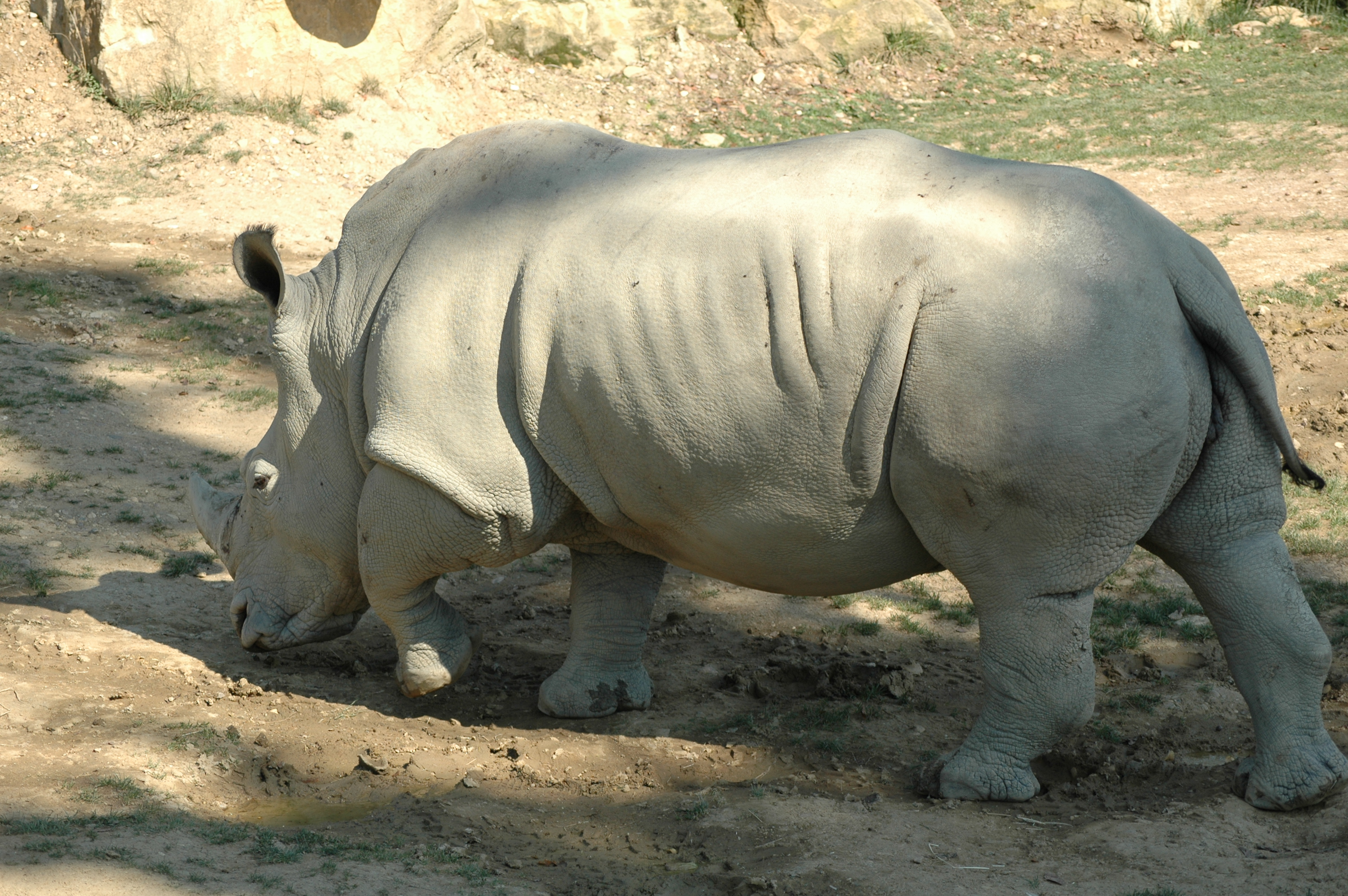 photos of animal african rhinoceros play