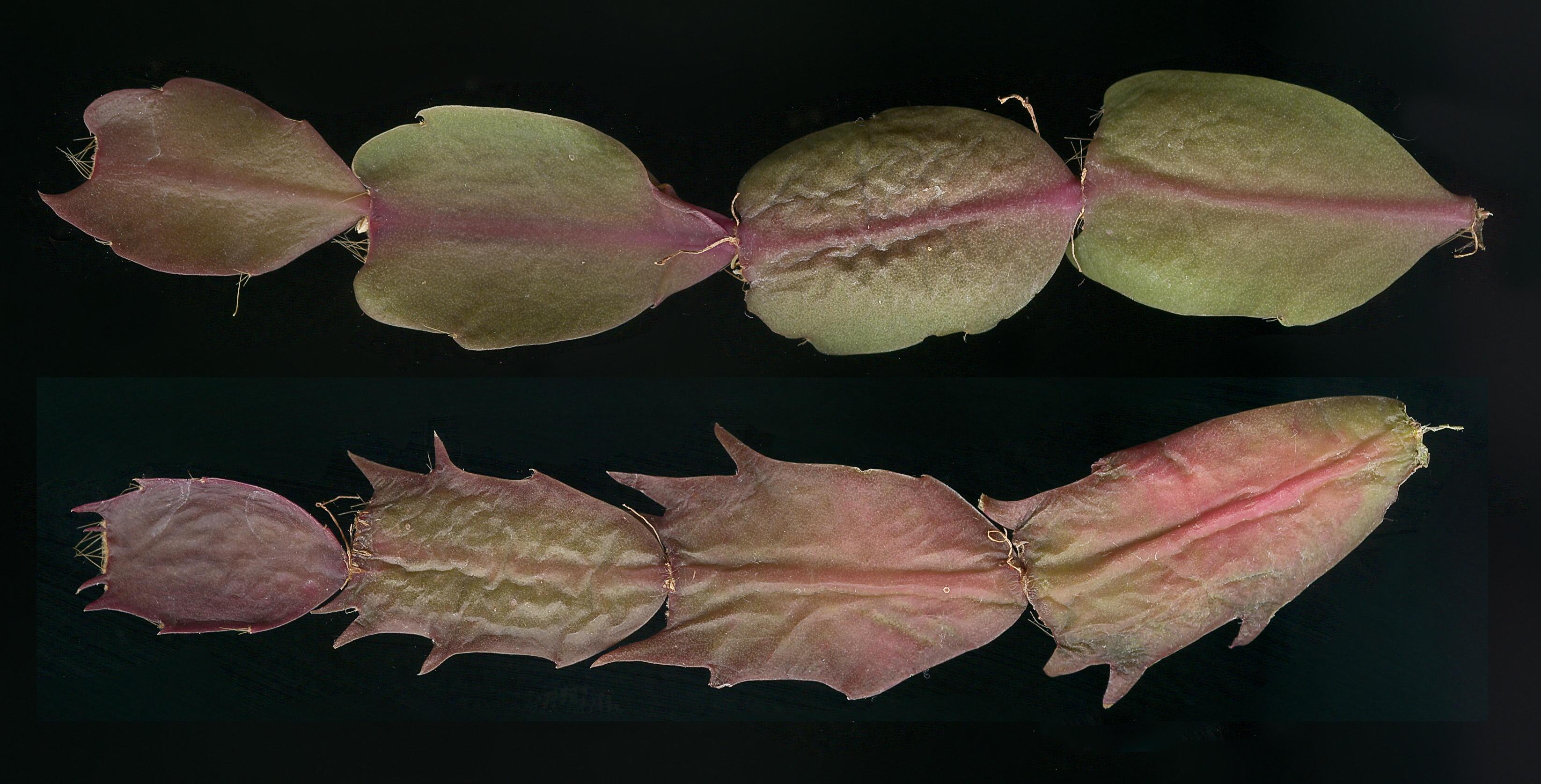 Image gallery schlumbergera problems for Cactus de navidad