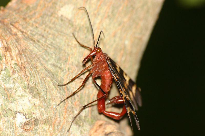Zoologie insecte volant libellule rouge poss dant un dard paralysant au bout de l 39 abdomen - Insecte rouge et noir ...