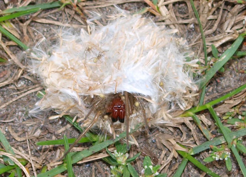 Dornfingerspinne Nest