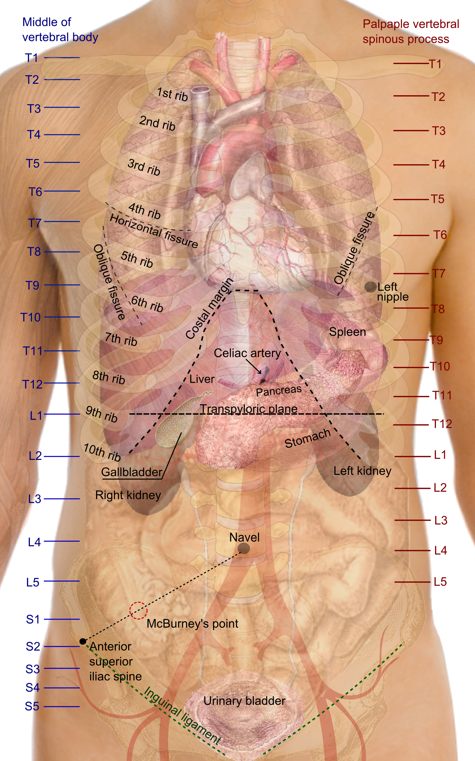 Gastrointestinal system medical school notes surfaceprojectionsoftheorgansofthetrunkg ccuart Gallery