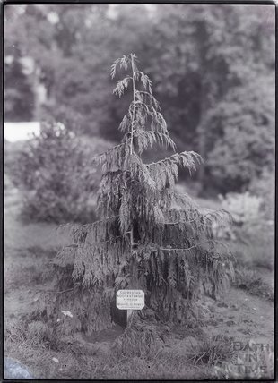 Tree planted by Mary Howey