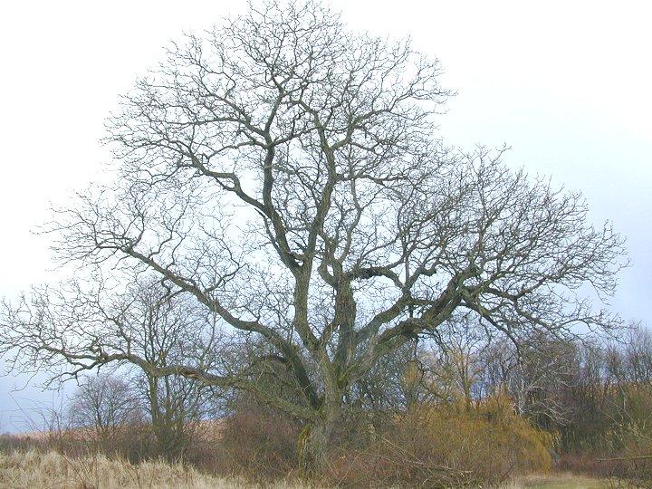 den Walnussbaum eigentlich