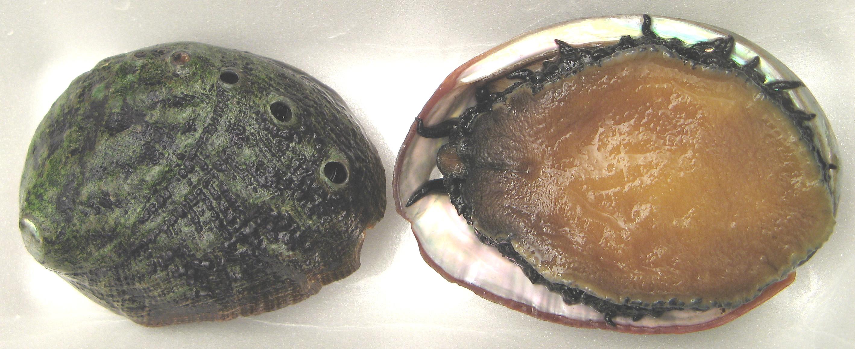 White abalone Haliotis sorenseni.jpg