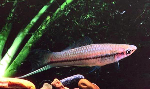 Xiphophorus helleri 03.jpg