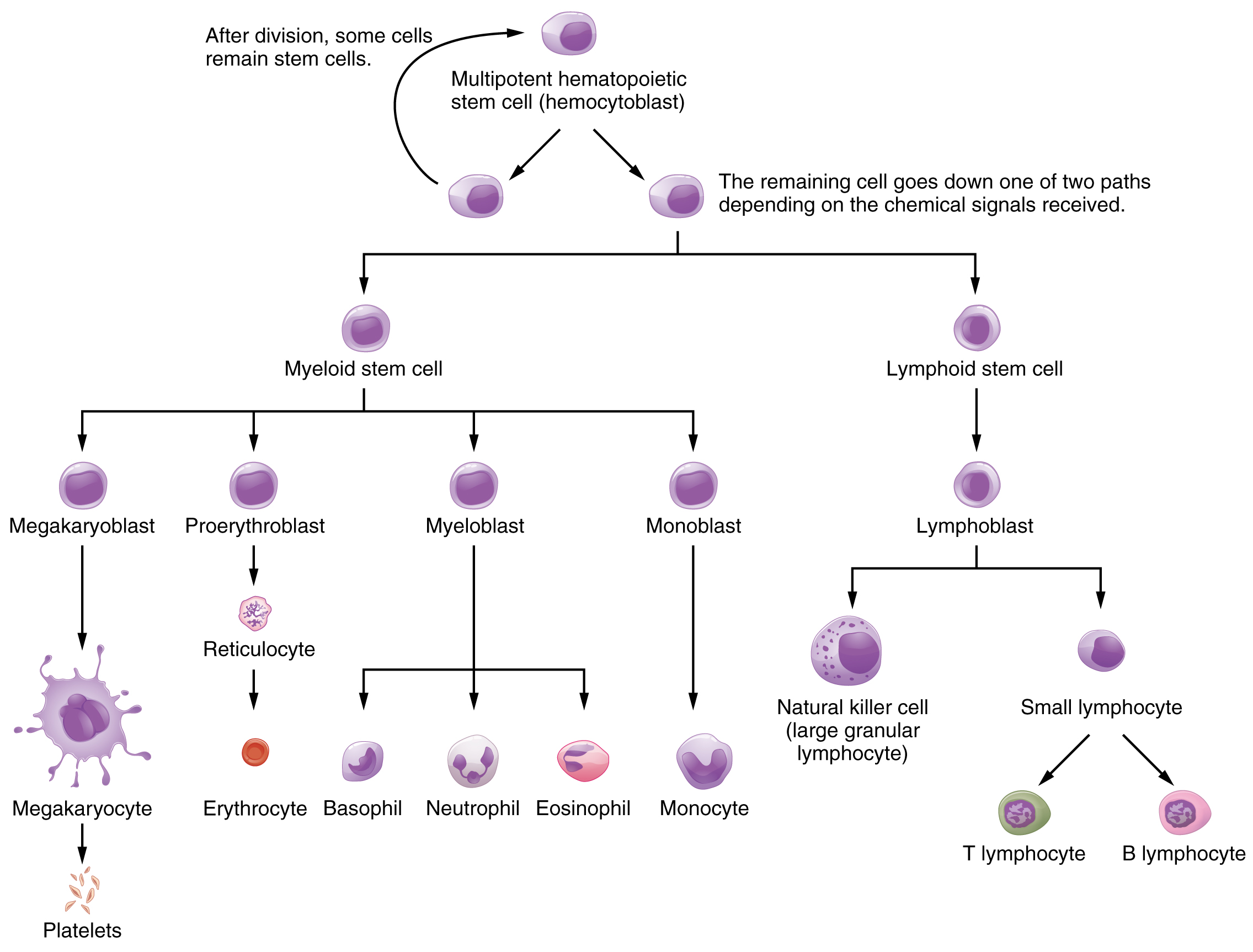 Cell Cycle Flow Chart: 1902 Hemopoiesis.jpg - Wikimedia Commons,Chart