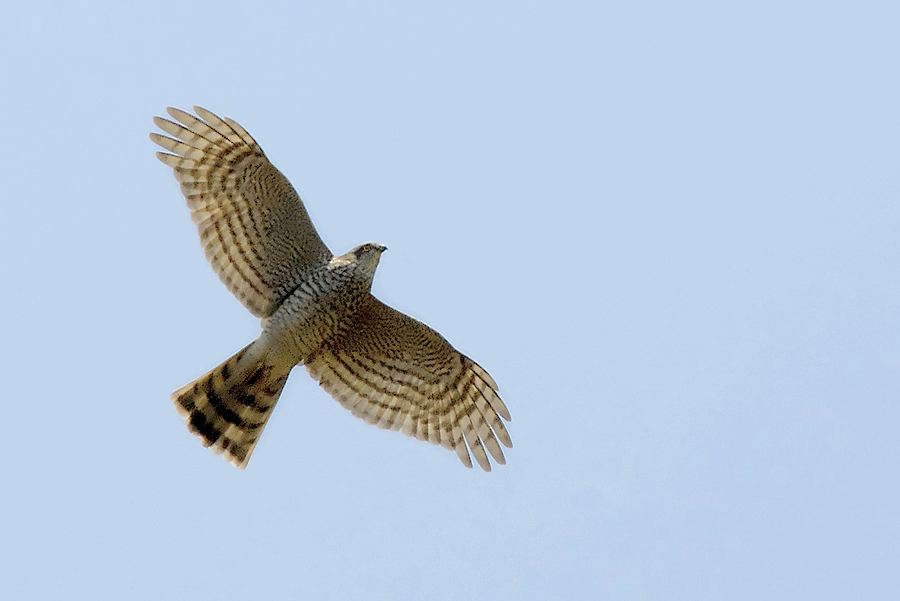 Accipiter nisus -in flight-8.jpg