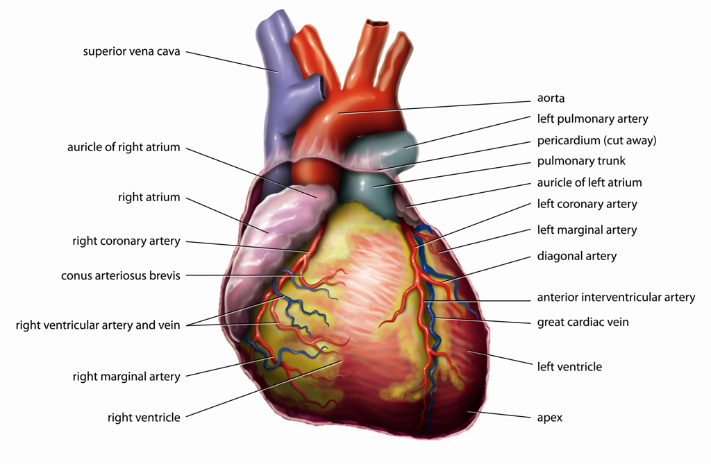 Heart Diagram Cardiac Veins - DIY Enthusiasts Wiring Diagrams •