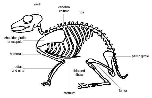 Anatomy and physiology of animals Mamalian skeleton.jpg