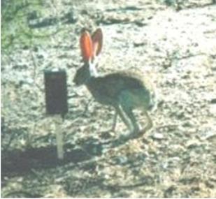 File:Antelope jackrabbit.jpg