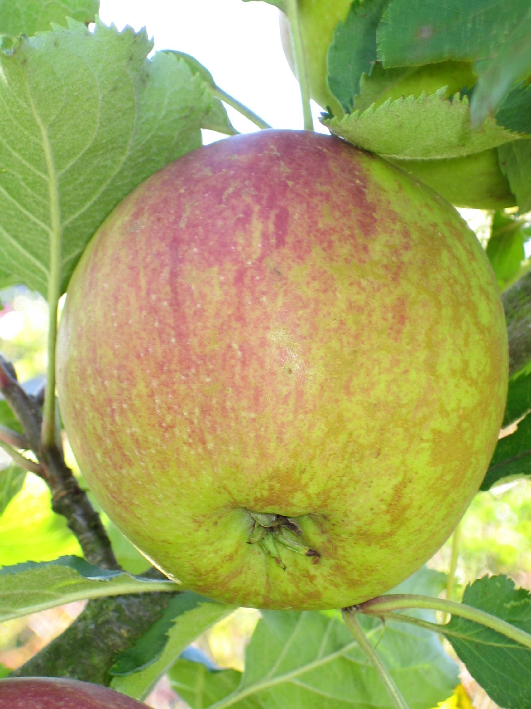 file apple on a tree cox 39 s orange pippin cultivar jpg wikimedia commons. Black Bedroom Furniture Sets. Home Design Ideas