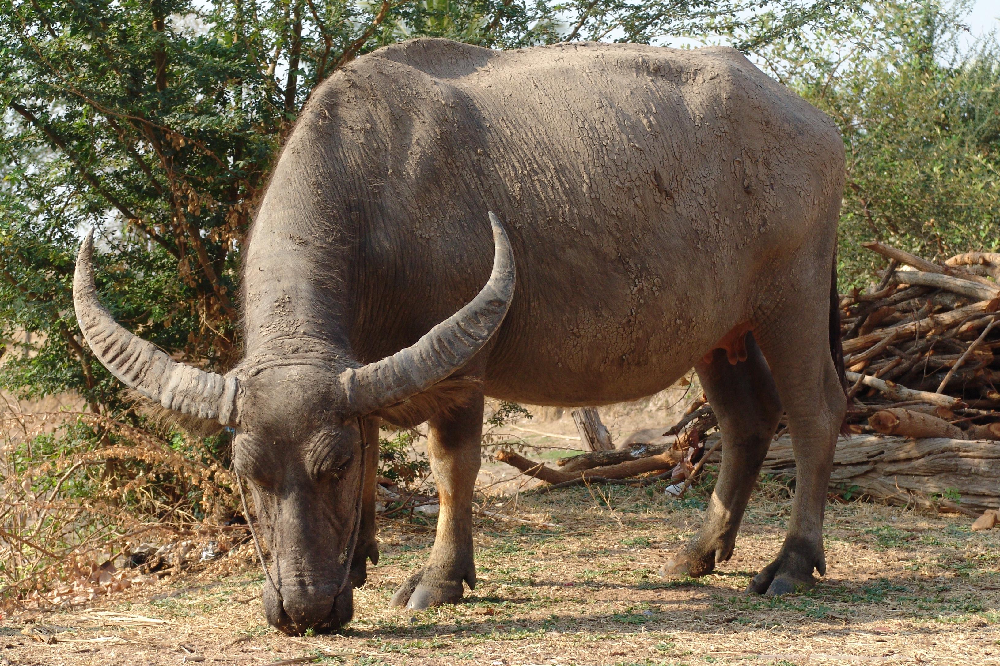 L Bearden Buffalo Bufalo - agrariasarzi