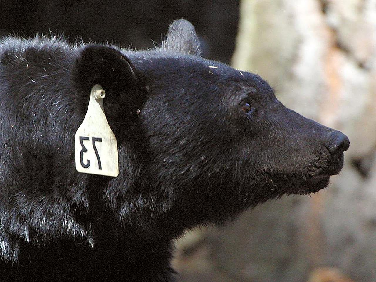 Black bear head profile - photo#15