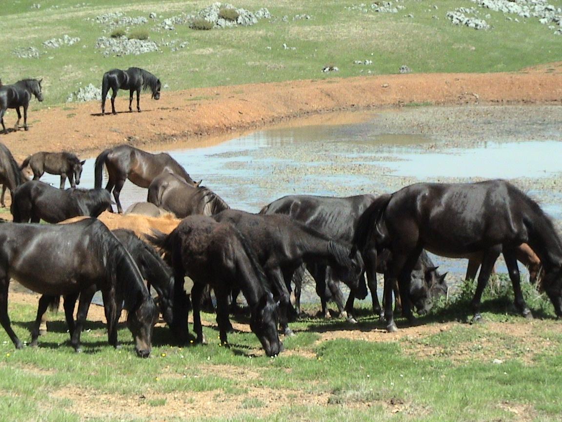 Bosanski Konji