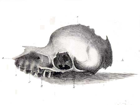 File:Bunyip skull.jpg